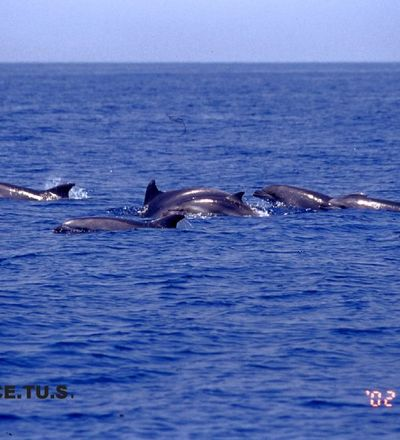 Pod of dolphins off the coast of Viareggio