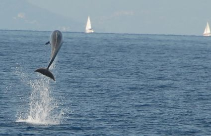 Acrobatics from the dolphin Matilde, off Viareggio