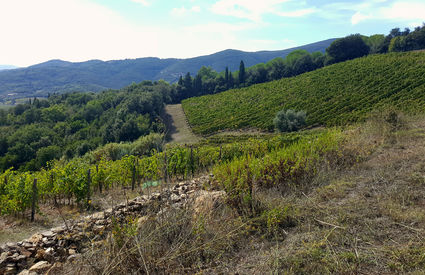Woods and vineyards, Suvereto