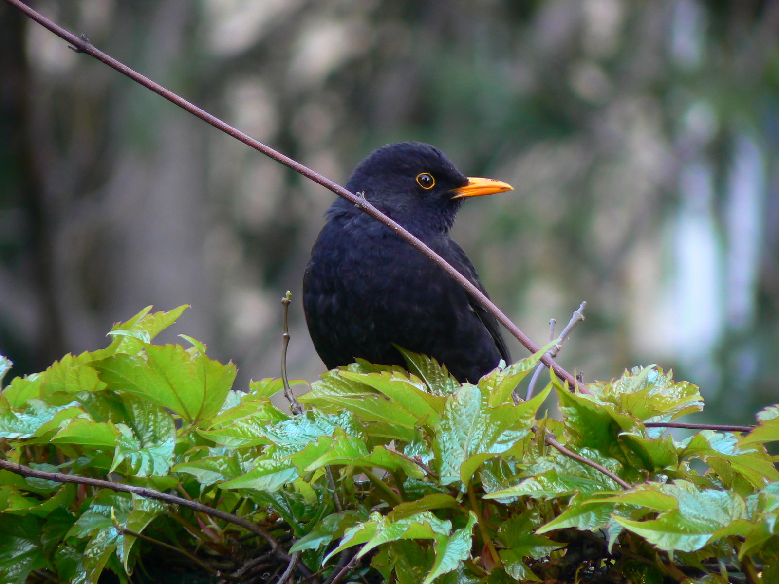 Casciana Terme Lari - The elegance of the blackbird - Tuscany, Beautiful Everywhere