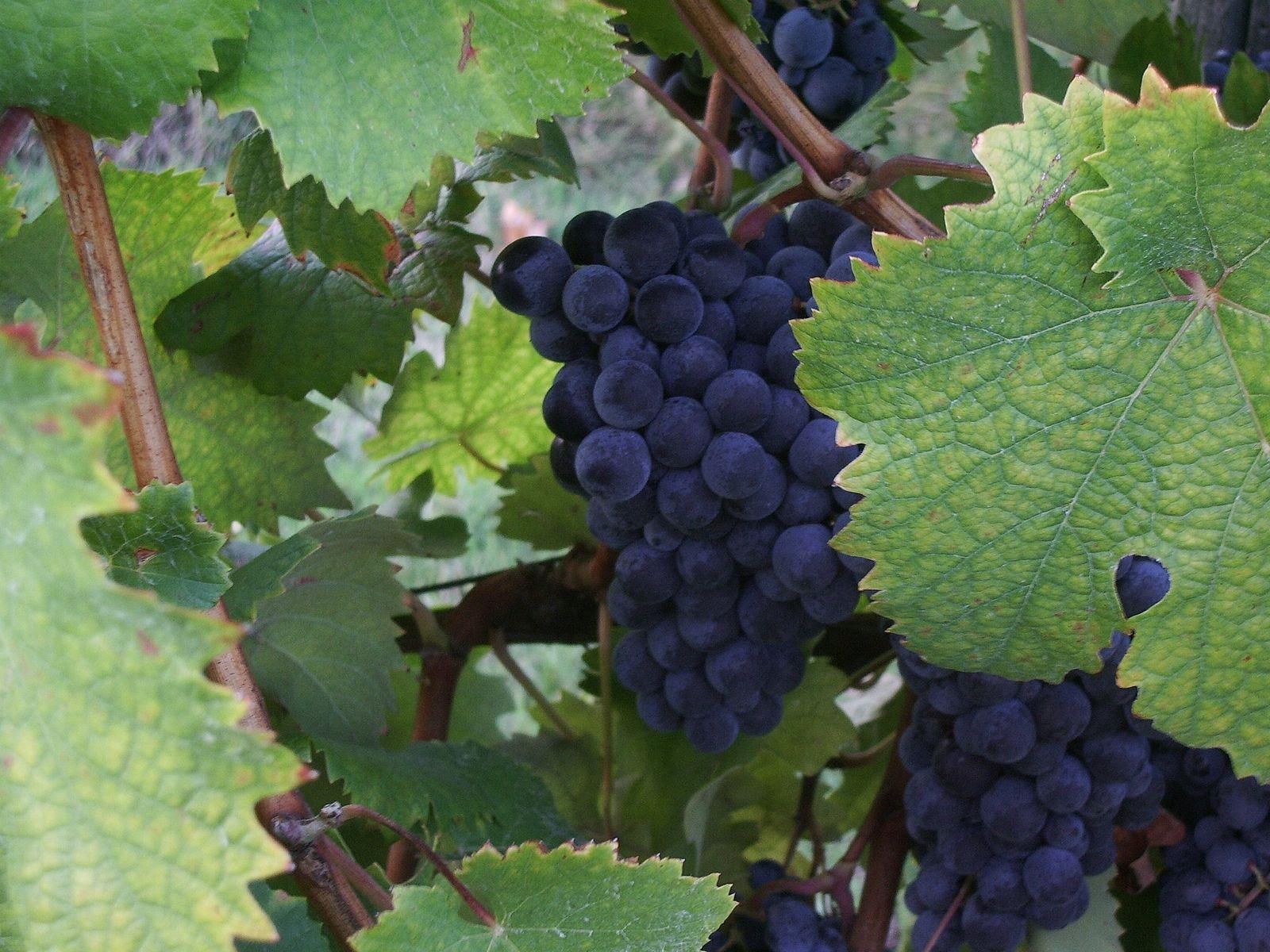 Montecarlo - Harvest time