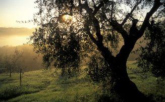 San Miniato campi olivi